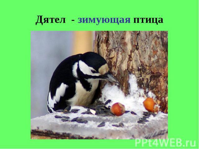 Дятел - зимующая птица