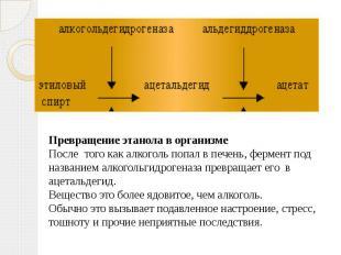 Превращение этанола в организмеПосле того как алкоголь попал в печень, фермент п