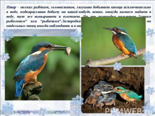 Пищу - мелких рыбёшек, головастиков, лягушат добывает птица исключительно в воде