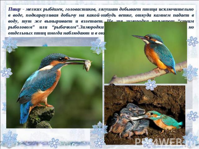 """Пищу - мелких рыбёшек, головастиков, лягушат добывает птица исключительно в воде, подкарауливая добычу на какой-нибудь ветке, откуда камнем падает в воду, тут же выныривает и взлетает. Не зря зимородка называют """"синим рыболовом"""" или """"рыбачком"""".Зимор…"""