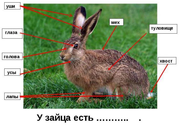 У зайца есть ……….. .