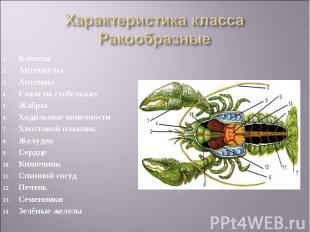 Клешня АнтеннулыАнтенныГлаза на стебелькахЖабры Ходильные конечностиХвостовой пл