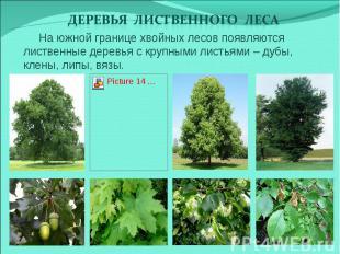 Деревья лиственного леса На южной границе хвойных лесов появляются лиственные де