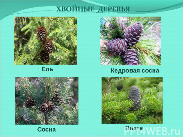 Хвойные деревья Ель Кедровая соснаСосна Пихта