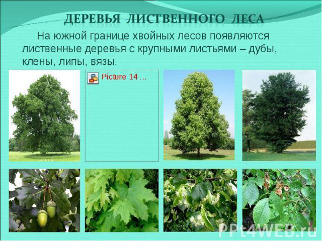Деревья лиственного леса На южной границе хвойных лесов появляются лиственные деревья с крупными листьями – дубы, клены, липы, вязы.
