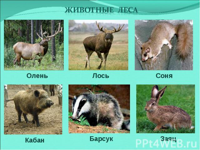 животные леса Олень Лось Соня Кабан Барсук Заяц