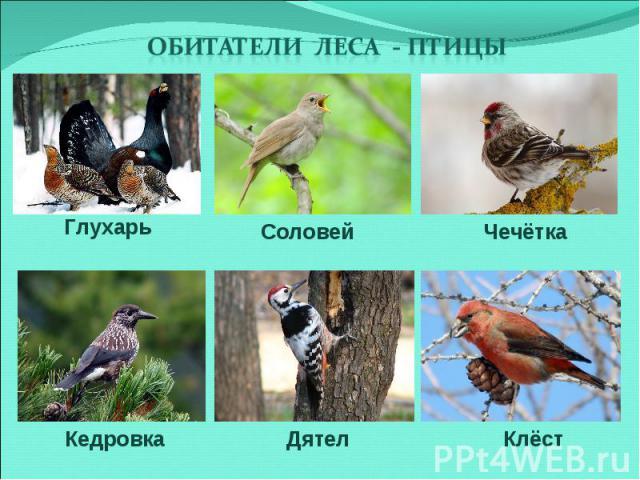 Обитатели леса - птицы Глухарь Соловей Чечётка Кедровка Дятел Клёст