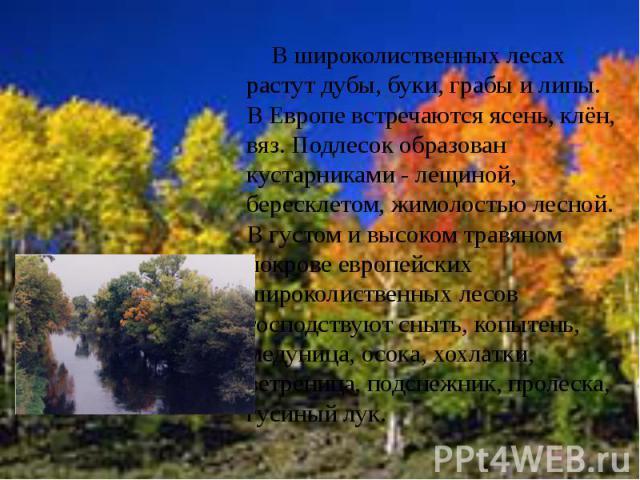 В широколиственных лесах растут дубы, буки, грабы и липы. В Европе встречаются ясень, клён, вяз. Подлесок образован кустарниками - лещиной, бересклетом, жимолостью лесной. В густом и высоком травяном покрове европейских широколиственных лесов господ…