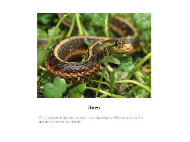 ЗмеяС приходом весны выползают из своих норок. Обожают солнце и часами греются на камнях.