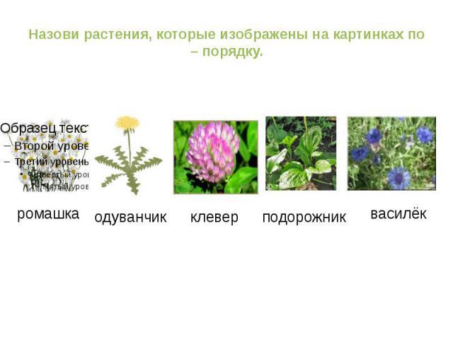 Назови растения, которые изображены на картинках по – порядку. ромашка одуванчик клевер подорожник василёк