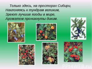 Только здесь, на просторах Сибири,Наклоняясь к тундрам великим,Зреют лучшие ягод