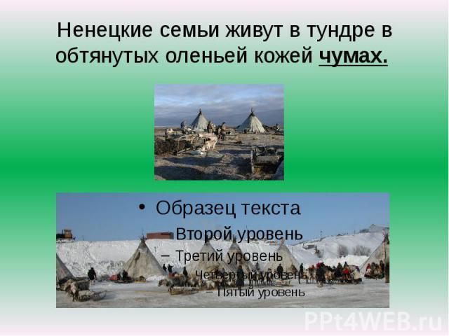 Ненецкие семьи живут в тундре в обтянутых оленьей кожей чумах.