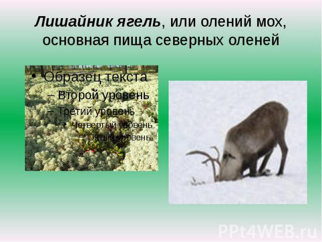 Лишайник ягель, или олений мох, основная пища северных оленей