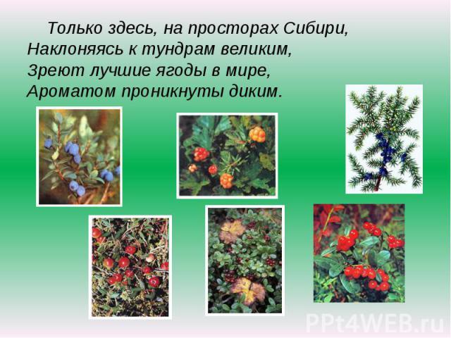 Только здесь, на просторах Сибири,Наклоняясь к тундрам великим,Зреют лучшие ягоды в мире,Ароматом проникнуты диким.