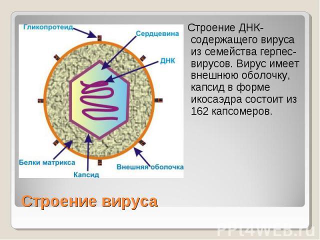 Строение ДНК-содержащего вируса из семейства герпес-вирусов. Вирус имеет внешнюю оболочку, капсид в форме икосаэдра состоит из 162 капсомеров. Строение вируса