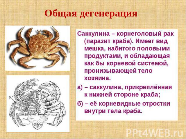 Общая дегенерация Саккулина – корнеголовый рак (паразит краба). Имеет вид мешка, набитого половыми продуктами, и обладающая как бы корневой системой, пронизывающей тело хозяина.а) – саккулина, прикреплённая к нижней стороне краба;б) – её корневидные…