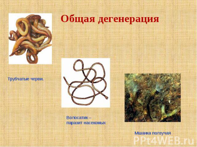 Общая дегенерация Трубчатые черви. Волосатик –паразит насекомых Мшанка ползучая