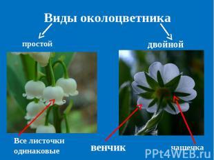 Виды околоцветника простой двойной Все листочки одинаковые венчик