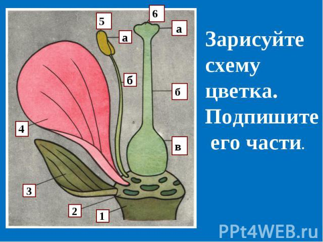 Зарисуйте схему цветка.Подпишите его части.