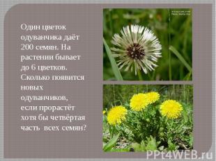 Один цветок одуванчика даёт 200 семян. На растении бывает до 6 цветков. Сколько