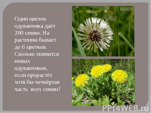 Один цветок одуванчика даёт 200 семян. На растении бывает до 6 цветков. Сколько появится новых одуванчиков, если прорастёт хотя бы четвёртая часть всех семян?