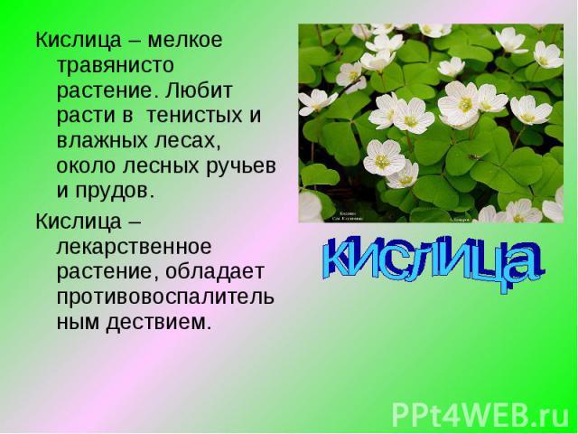 Кислица – мелкое травянисто растение. Любит расти в тенистых и влажных лесах, около лесных ручьев и прудов.Кислица – лекарственное растение, обладает противовоспалительным дествием. кислица