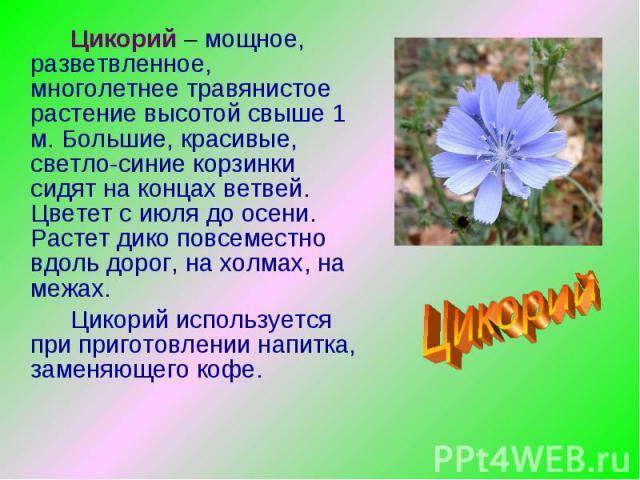 Цикорий – мощное, разветвленное, многолетнее травянистое растение высотой свыше 1 м. Большие, красивые, светло-синие корзинки сидят на концах ветвей. Цветет с июля до осени. Растет дико повсеместно вдоль дорог, на холмах, на межах.Цикорий использует…