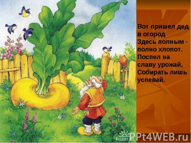 Вот пришел дед в огородЗдесь полным - полно хлопот.Поспел на славу урожай,Собирать лишь успевай.