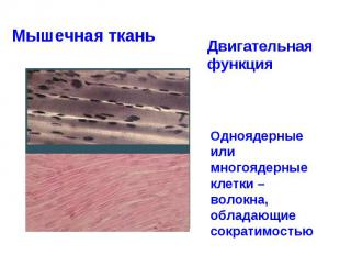 Мышечная ткань Двигательная функция Одноядерные или многоядерные клетки – волокн