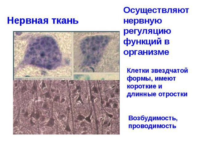 Нервная ткань Осуществляют нервную регуляцию функций в организме Клетки звездчатой формы, имеют короткие и длинные отростки Возбудимость, проводимость