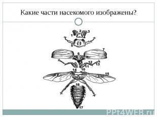Какие части насекомого изображены?