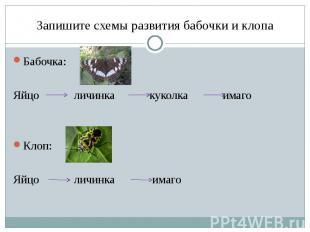 Запишите схемы развития бабочки и клопа Бабочка: Яйцо личинка куколка имаго Клоп