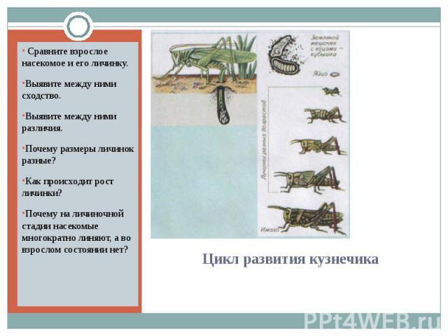 Сравните взрослое насекомое и его личинку.Выявите между ними сходство.Выявите между ними различия.Почему размеры личинок разные?Как происходит рост личинки?Почему на личиночной стадии насекомые многократно линяют, а во взрослом состоянии нет? Цикл р…