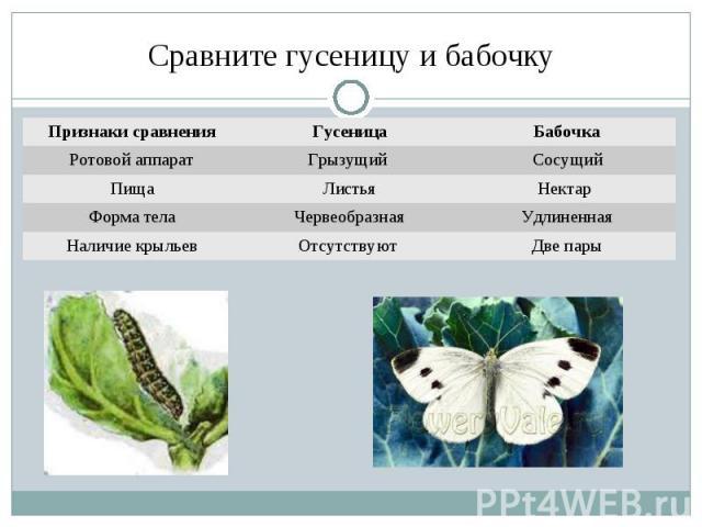 Сравните гусеницу и бабочку