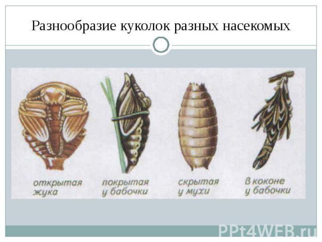 Разнообразие куколок разных насекомых