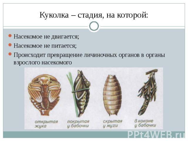 Куколка – стадия, на которой: Насекомое не двигается;Насекомое не питается;Происходит превращение личиночных органов в органы взрослого насекомого