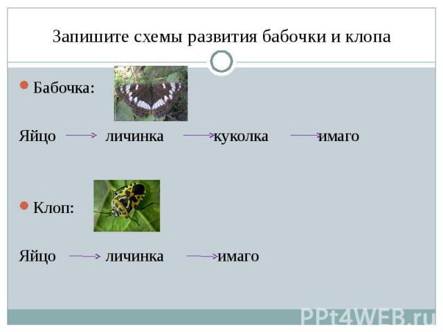 Запишите схемы развития бабочки и клопа Бабочка: Яйцо личинка куколка имаго Клоп:Яйцо личинка имаго