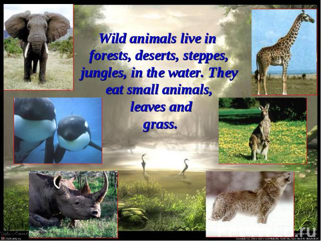 Wild animals live in forests, deserts, steppes, jungles, in the water. They eat small animals, leaves and grass.