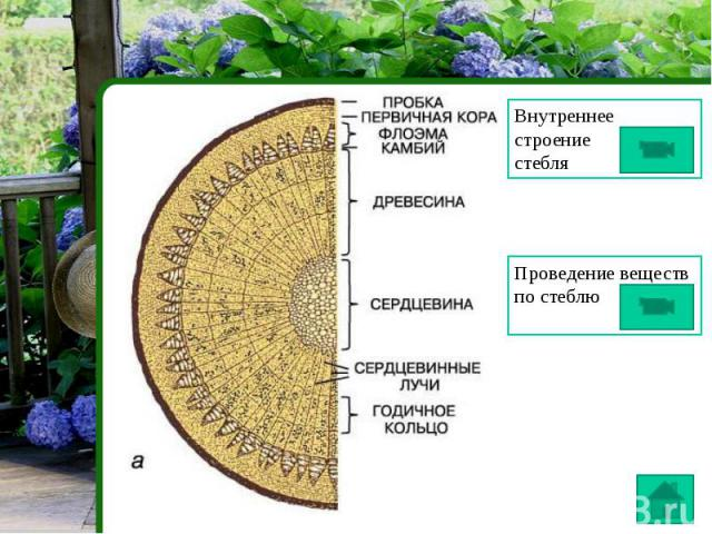 Внутреннее строениестебля Проведение веществ по стеблю