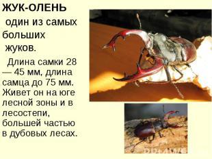 ЖУК-ОЛЕНЬ один из самых больших жуков. Длина самки 28— 45 мм, длина самца до 75