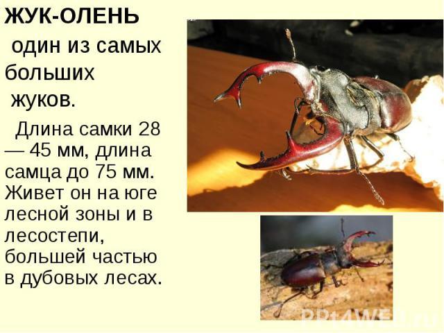 ЖУК-ОЛЕНЬ один из самых больших жуков. Длина самки 28— 45 мм, длина самца до 75 мм. Живет он на юге лесной зоны и в лесостепи, большей частью в дубовых лесах.
