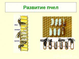 Развитие пчел