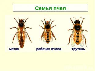 Семья пчел