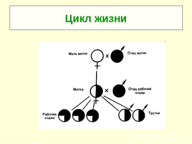 Цикл жизни