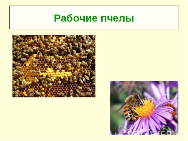 Рабочие пчелы