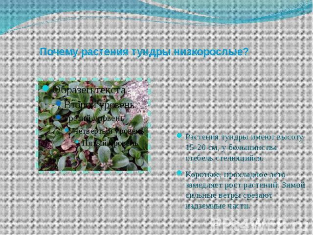 Почему растения тундры низкорослые? Растения тундры имеют высоту 15-20 см, у большинства стебель стелющийся.Короткое, прохладное лето замедляет рост растений. Зимой сильные ветры срезают надземные части.