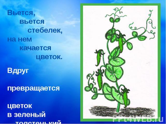 Вьется, вьется стебелек, на нем качается цветок. Вдруг превращается цветокв зеленый толстенький стручок.