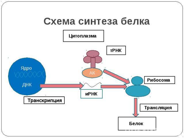 Схема синтеза белка