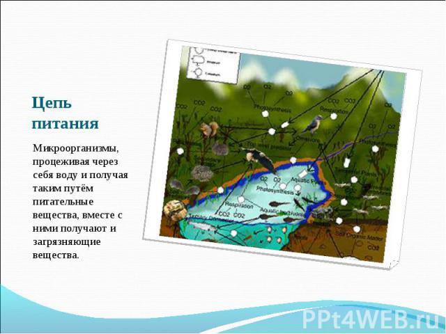 Цепь питания Микроорганизмы, процеживая через себя воду и получая таким путём питательные вещества, вместе с ними получают и загрязняющие вещества.