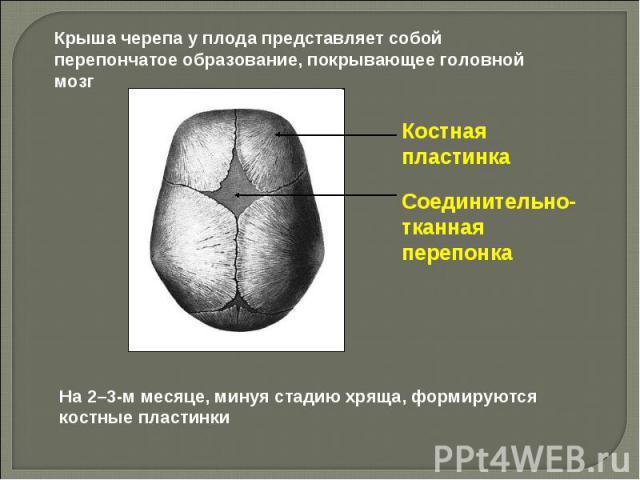 Крыша черепа у плода представляет собой перепончатое образование, покрывающее головной мозг Костная пластинка Соединительно-тканнаяперепонка На 2–3-м месяце, минуя стадию хряща, формируются костные пластинки